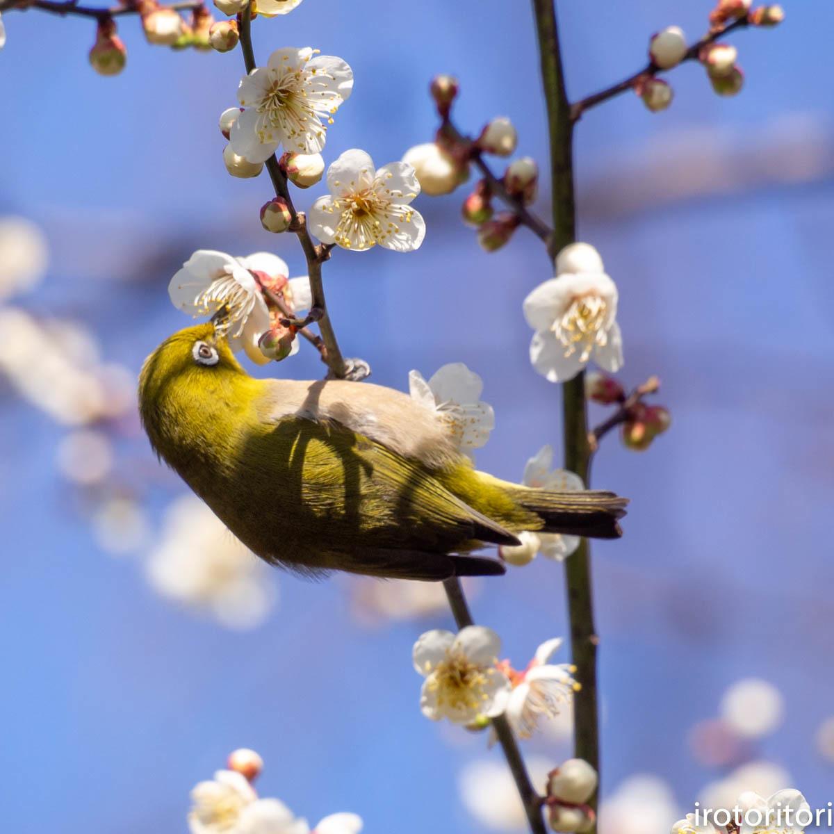梅が咲いてました〜!!  (メジロ)  2020/02/08_d0146592_01173790.jpg