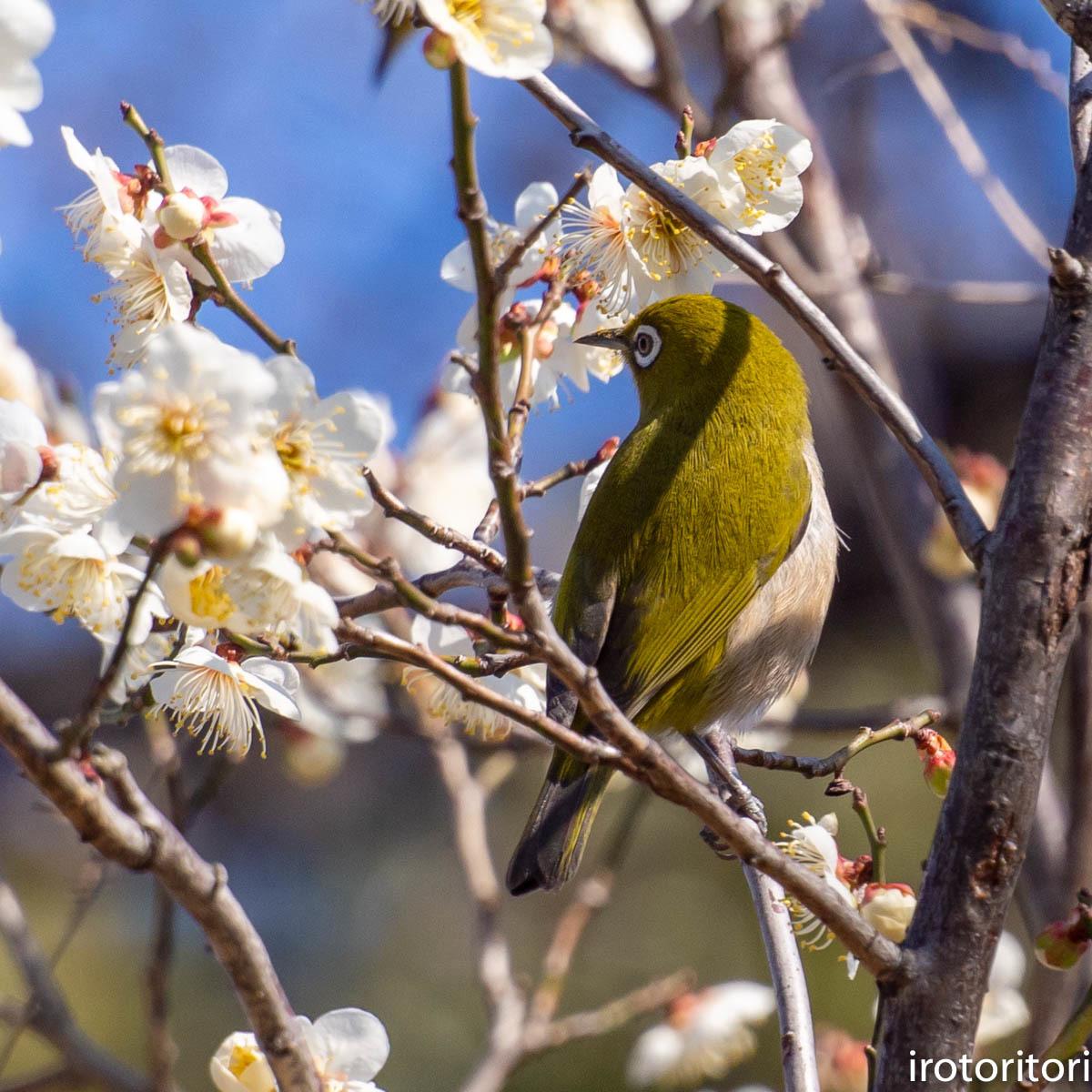 梅が咲いてました〜!!  (メジロ)  2020/02/08_d0146592_01174705.jpg