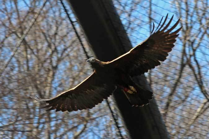 多摩動物公園の鳥たち~春の兆しに飛ぶニホンイヌワシ(March 2019)_b0355317_22091554.jpg