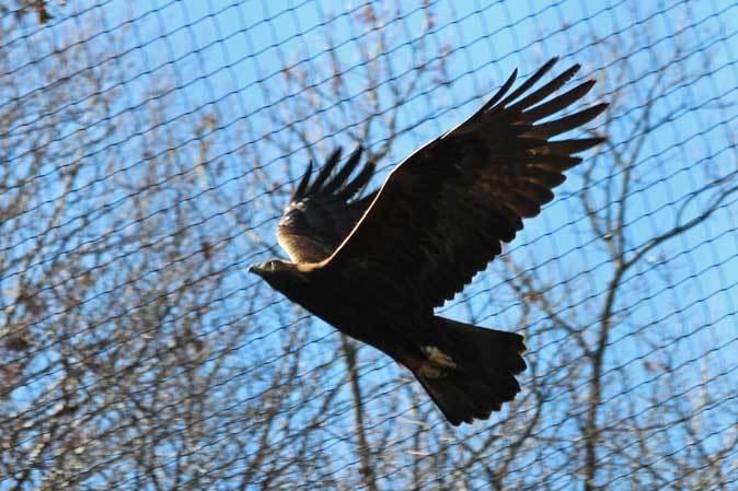 多摩動物公園の鳥たち~春の兆しに飛ぶニホンイヌワシ(March 2019)_b0355317_22110489.jpg
