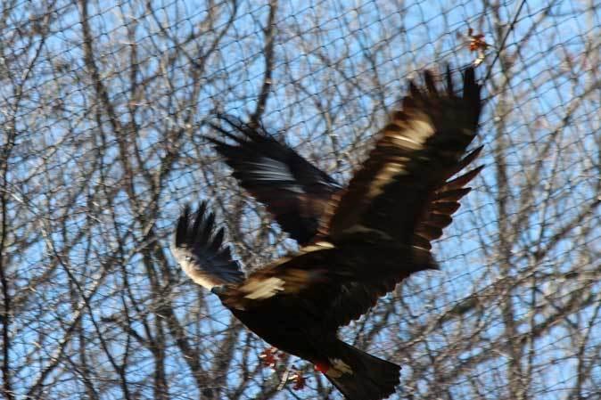 多摩動物公園の鳥たち~春の兆しに飛ぶニホンイヌワシ(March 2019)_b0355317_22114555.jpg
