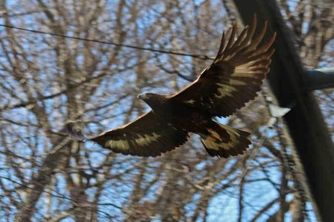 多摩動物公園の鳥たち~春の兆しに飛ぶニホンイヌワシ(March 2019)_b0355317_22125045.jpg