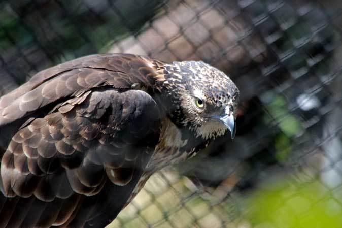 多摩動物公園の鳥たち~春の兆しに飛ぶニホンイヌワシ(March 2019)_b0355317_22151860.jpg