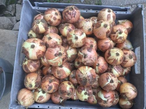 今年も頑張って 野菜を収穫しますぞ_f0325525_23435628.jpeg