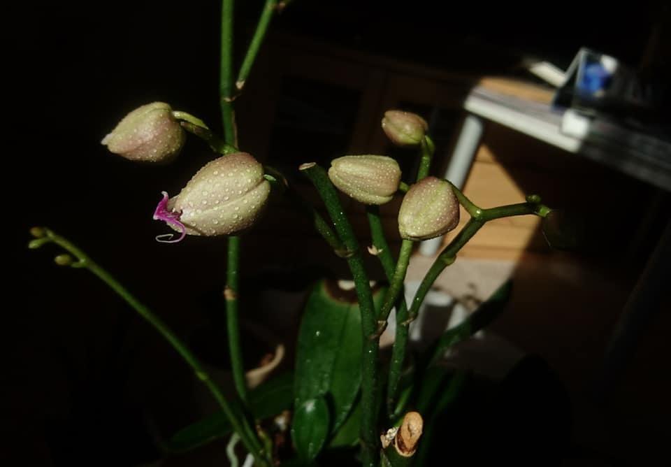 3回目!蘭の花が咲き始めました。_f0373339_15515397.jpg