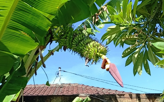 また、またバナナの実が成っていた。_d0083068_09525274.jpg