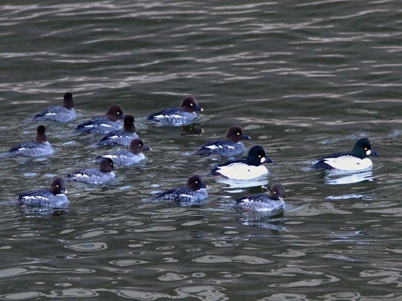 湖畔の水鳥たち(ホオジロガモ/ミコアイサ/カンムリカイツブリ)_a0204089_20284966.jpg