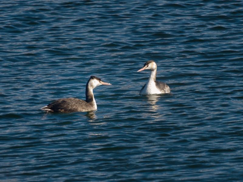 湖畔の水鳥たち(ホオジロガモ/ミコアイサ/カンムリカイツブリ)_a0204089_20292065.jpg