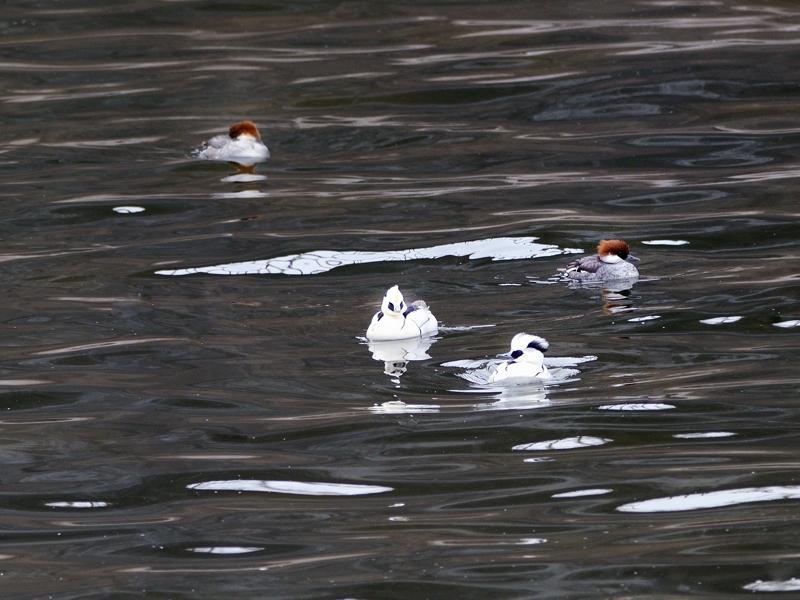 湖畔の水鳥たち(ホオジロガモ/ミコアイサ/カンムリカイツブリ)_a0204089_2029364.jpg