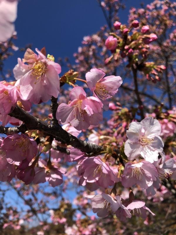 河津桜_a0129492_19500980.jpeg