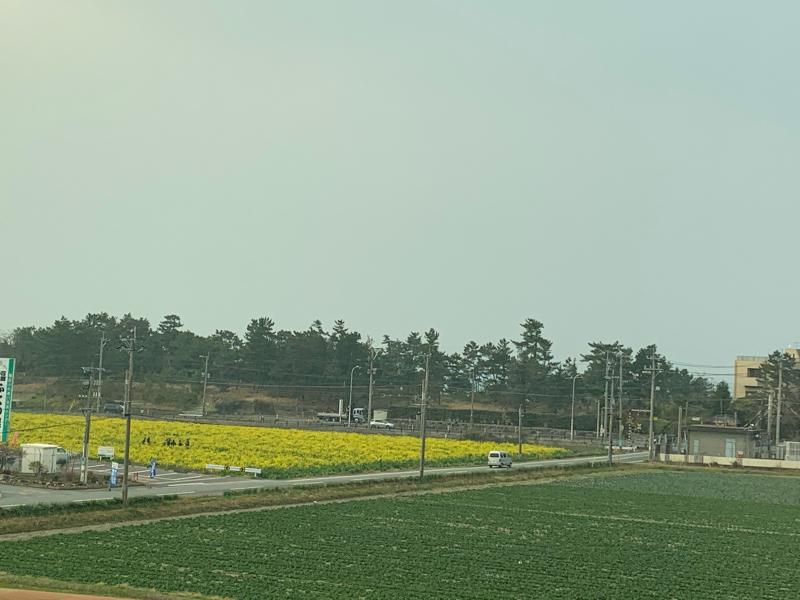 庭のラナンキュラス・ラックスと菜の花畑_d0090298_20131726.jpg