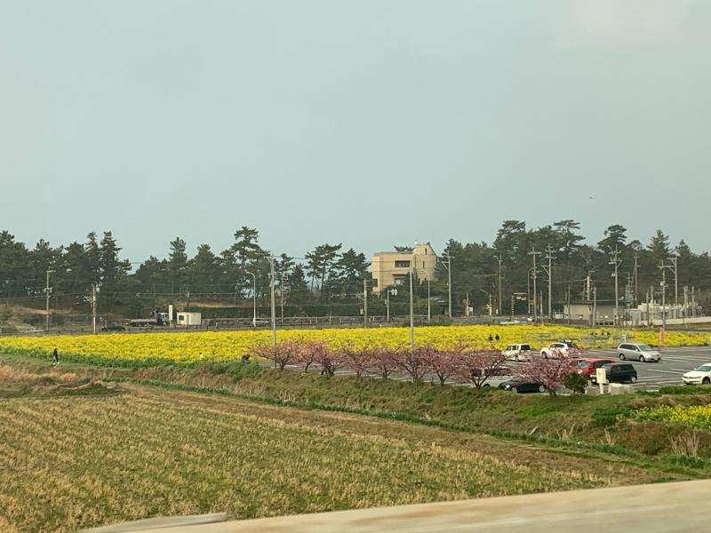 庭のラナンキュラス・ラックスと菜の花畑_d0090298_23341035.jpg