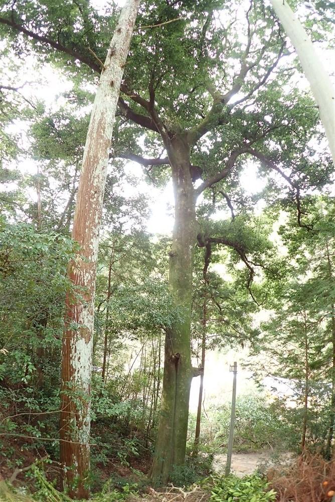 ハナガガシ 高知県最大級の巨樹だった_d0272107_20294755.jpg
