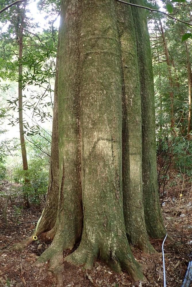 ハナガガシ 高知県最大級の巨樹だった_d0272107_20295420.jpg