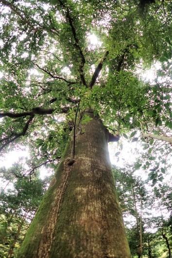 ハナガガシ 高知県最大級の巨樹だった_d0272107_21003080.jpg