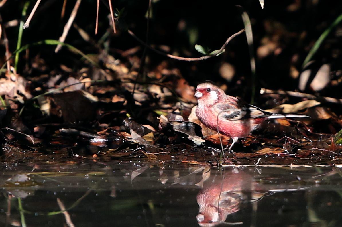 野鳥のオアシス その5(ベニマシコ&カワセミ)_f0239515_1439843.jpg