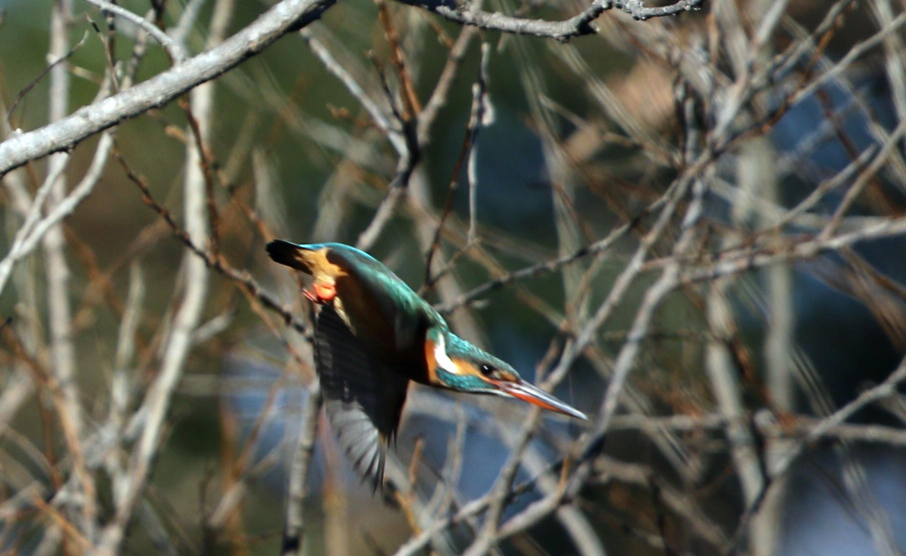 野鳥のオアシス その5(ベニマシコ&カワセミ)_f0239515_14423536.jpg