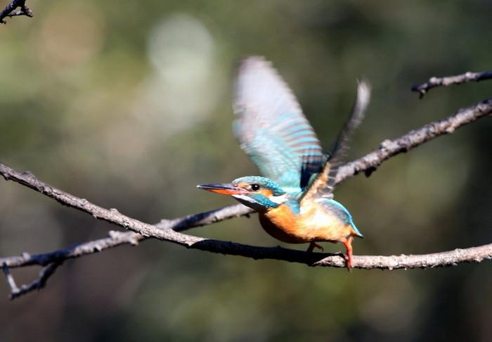 野鳥のオアシス その5(ベニマシコ&カワセミ)_f0239515_14442329.jpg