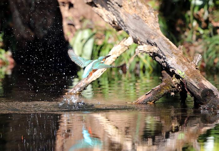 野鳥のオアシス その5(ベニマシコ&カワセミ)_f0239515_14445745.jpg
