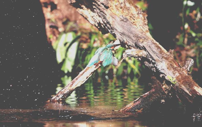 野鳥のオアシス その5(ベニマシコ&カワセミ)_f0239515_14452147.jpg