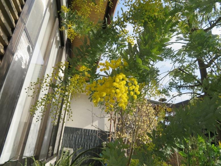 例年より1か月早く、ミモザが咲き始めました。_b0089338_22452025.jpg