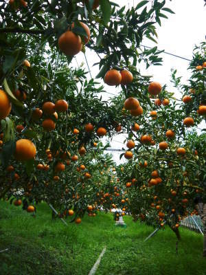 究極の柑橘『せとか』令和2年の先行予約受付スタート(前編) 小春農園の『せとか』の美味しさの秘密!_a0254656_17154351.jpg