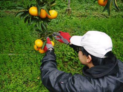 究極の柑橘『せとか』令和2年の先行予約受付スタート(前編) 小春農園の『せとか』の美味しさの秘密!_a0254656_17314351.jpg