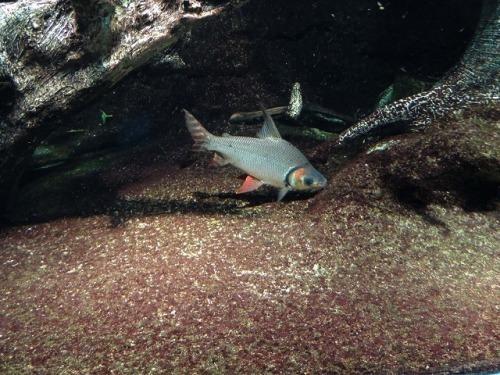 ブラジルの魚  「カラープロキロタス」_d0019074_11445445.jpg