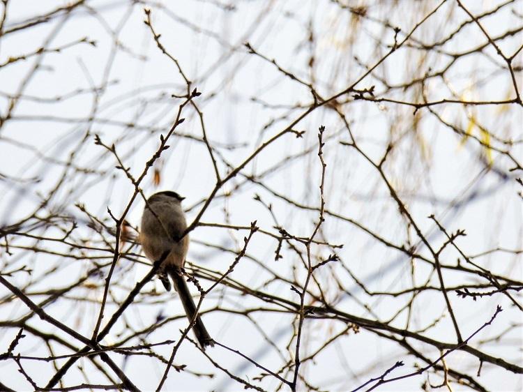 冬のソングバードたち_a0147281_20274022.jpg