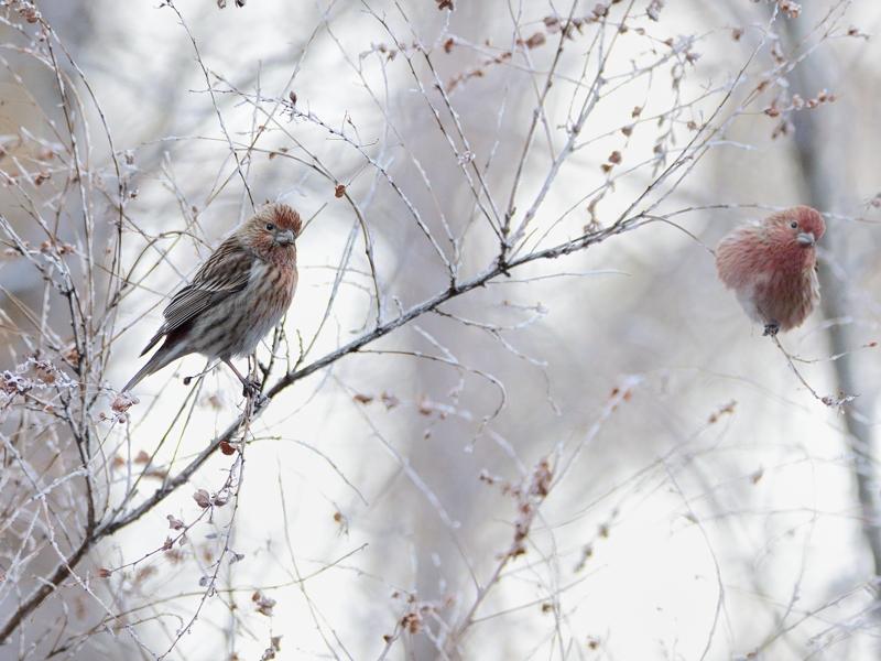 霧氷とオオマシコたち_a0204089_652088.jpg