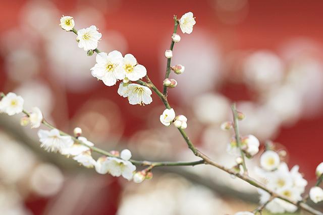 荏柄天神社の白梅が見ごろです_b0145398_22361489.jpg