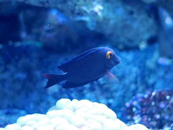 アクアパーク品川~発光サンゴ水槽群_b0355317_21550453.jpg