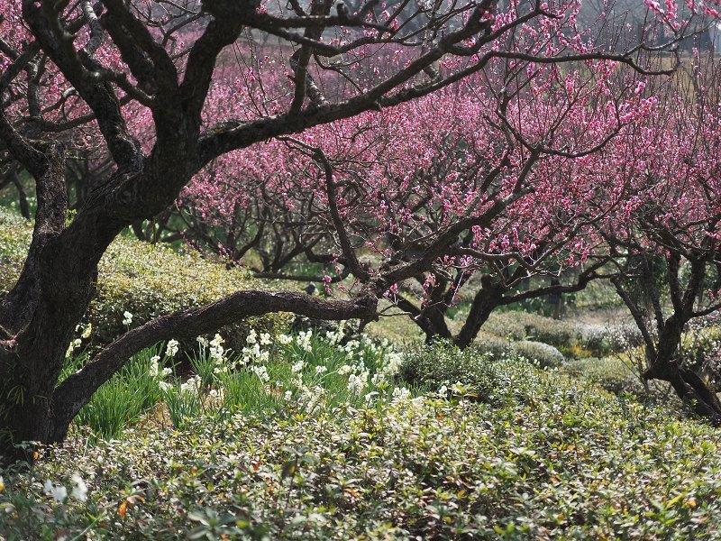 梅がほころぶ頃2020_d0052327_18035069.jpg