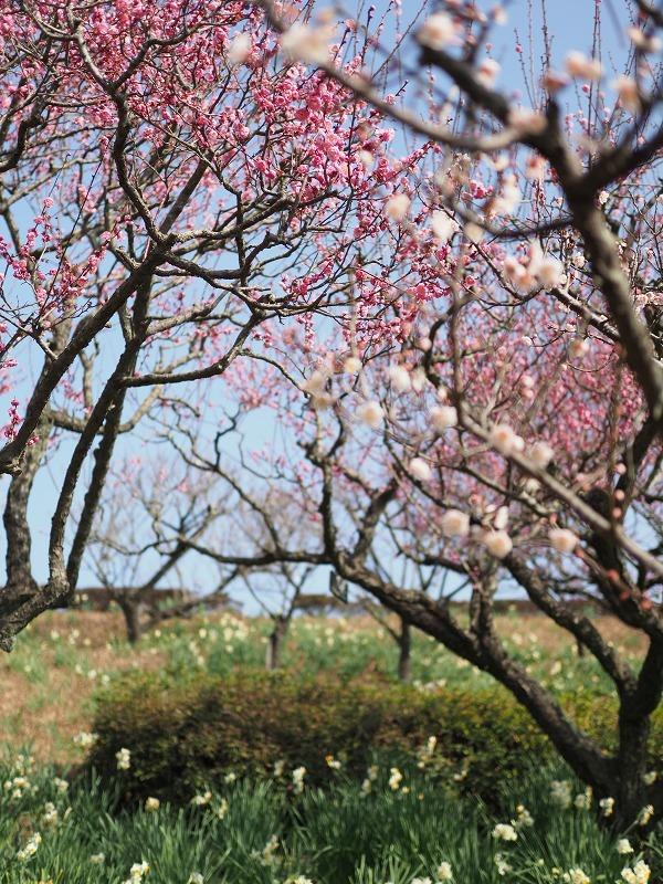 梅がほころぶ頃2020_d0052327_18053497.jpg