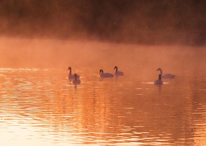 朝靄にコハクチョウ  Ⅱ_d0290240_07343866.jpg