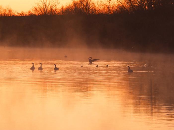 朝靄にコハクチョウ  Ⅱ_d0290240_07344973.jpg