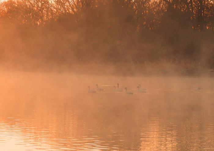 朝靄にコハクチョウ  Ⅱ_d0290240_07351268.jpg
