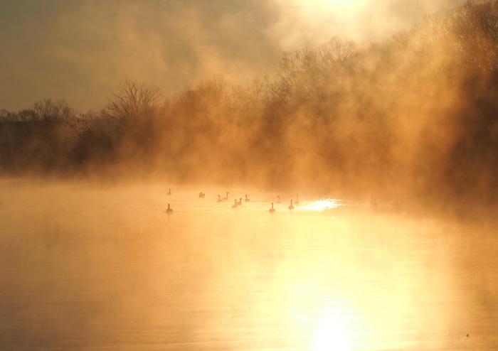 朝靄にコハクチョウ  Ⅱ_d0290240_07352193.jpg