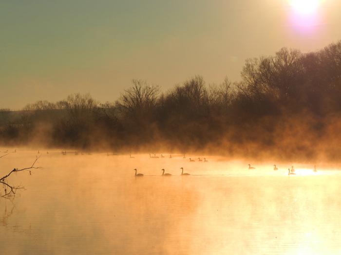 朝靄にコハクチョウ  Ⅱ_d0290240_07353003.jpg