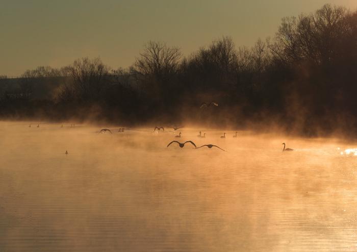 朝靄にコハクチョウ  Ⅱ_d0290240_07360485.jpg