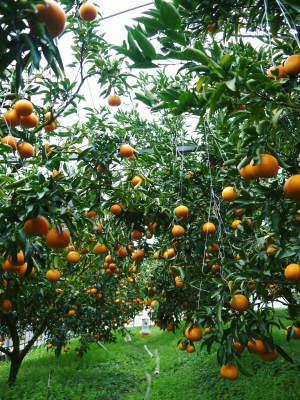 究極の柑橘『せとか』令和2年の先行予約受付スタート(後編) 小春農園の匠の技!大きく、美味しく、美しく_a0254656_17033238.jpg