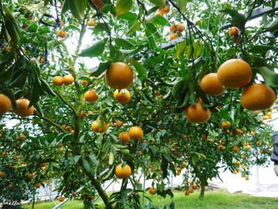 究極の柑橘『せとか』令和2年の先行予約受付スタート(後編) 小春農園の匠の技!大きく、美味しく、美しく_a0254656_17243124.jpg