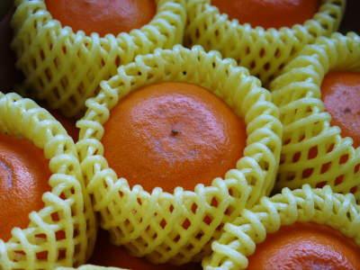 究極の柑橘『せとか』令和2年の先行予約受付スタート(後編) 小春農園の匠の技!大きく、美味しく、美しく_a0254656_18105537.jpg