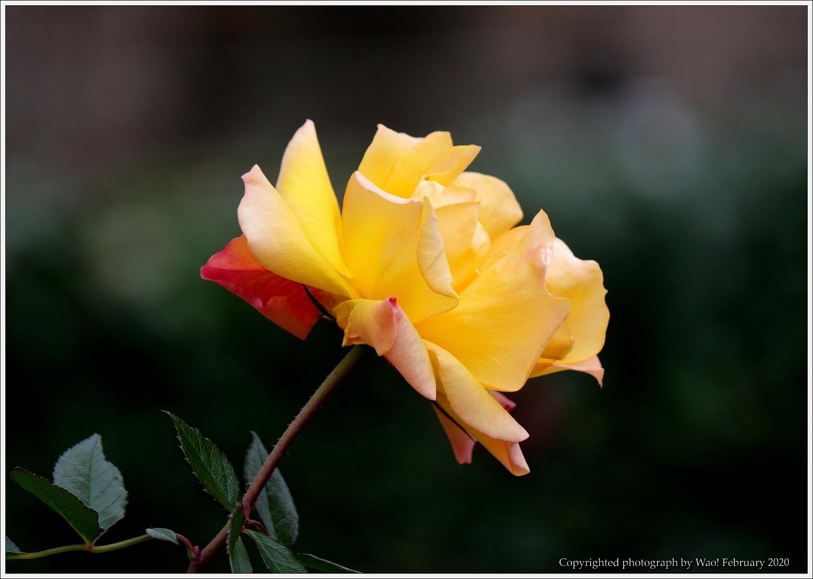 冬のバラと温室の花と蝶_c0198669_14074607.jpg