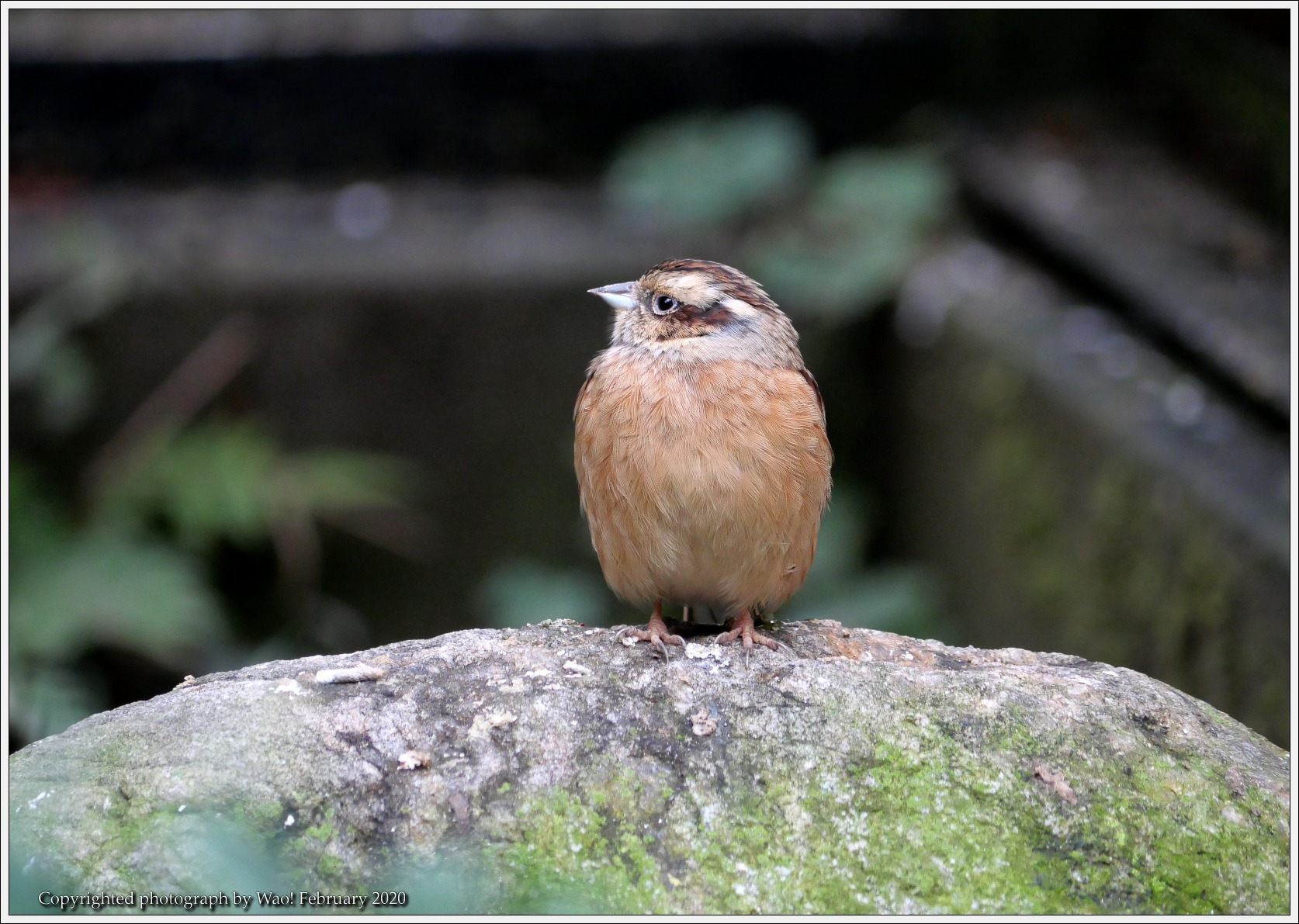 野鳥園のルリ・コマ・キビタキ_c0198669_14125782.jpg