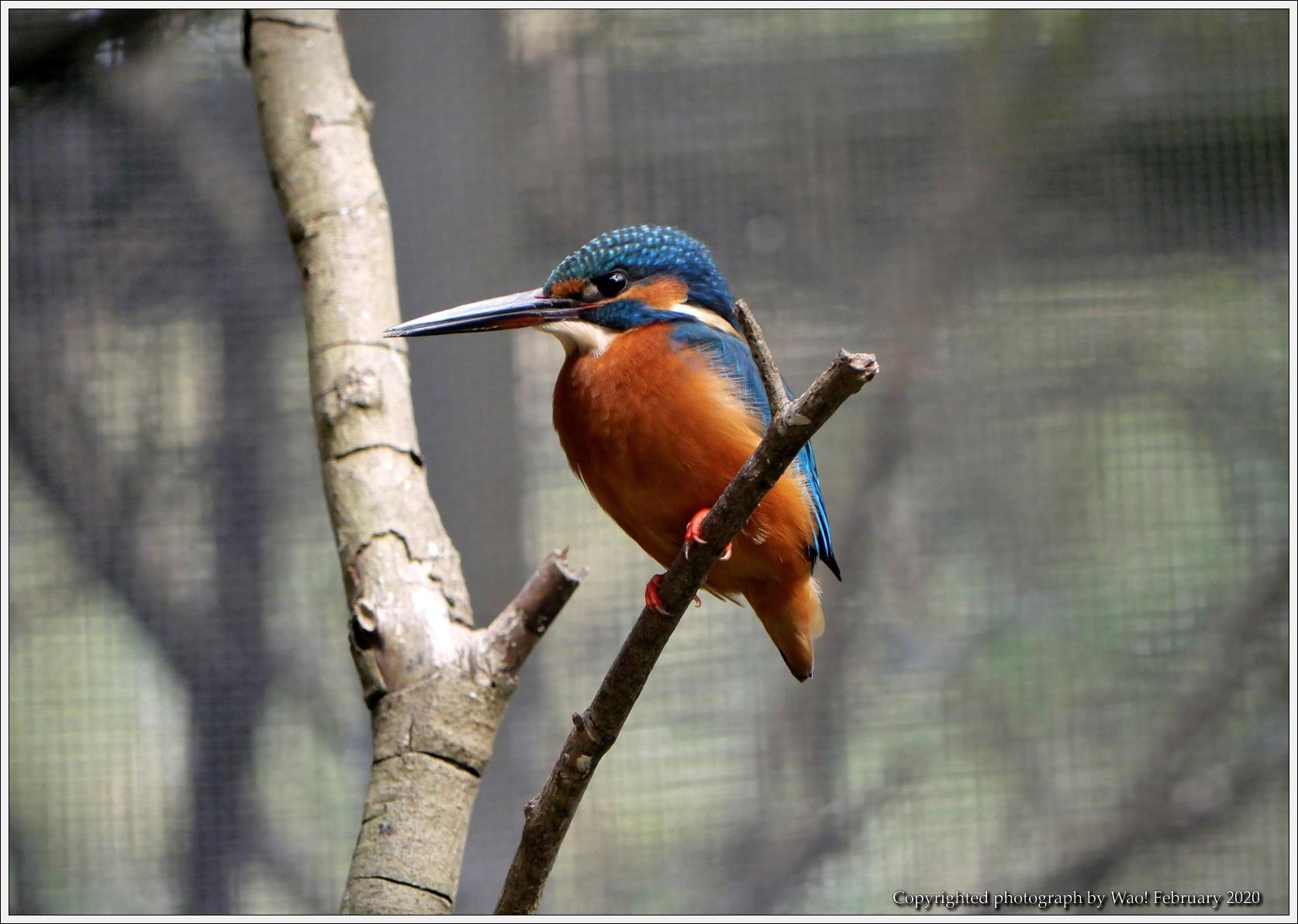 野鳥園のルリ・コマ・キビタキ_c0198669_14130875.jpg