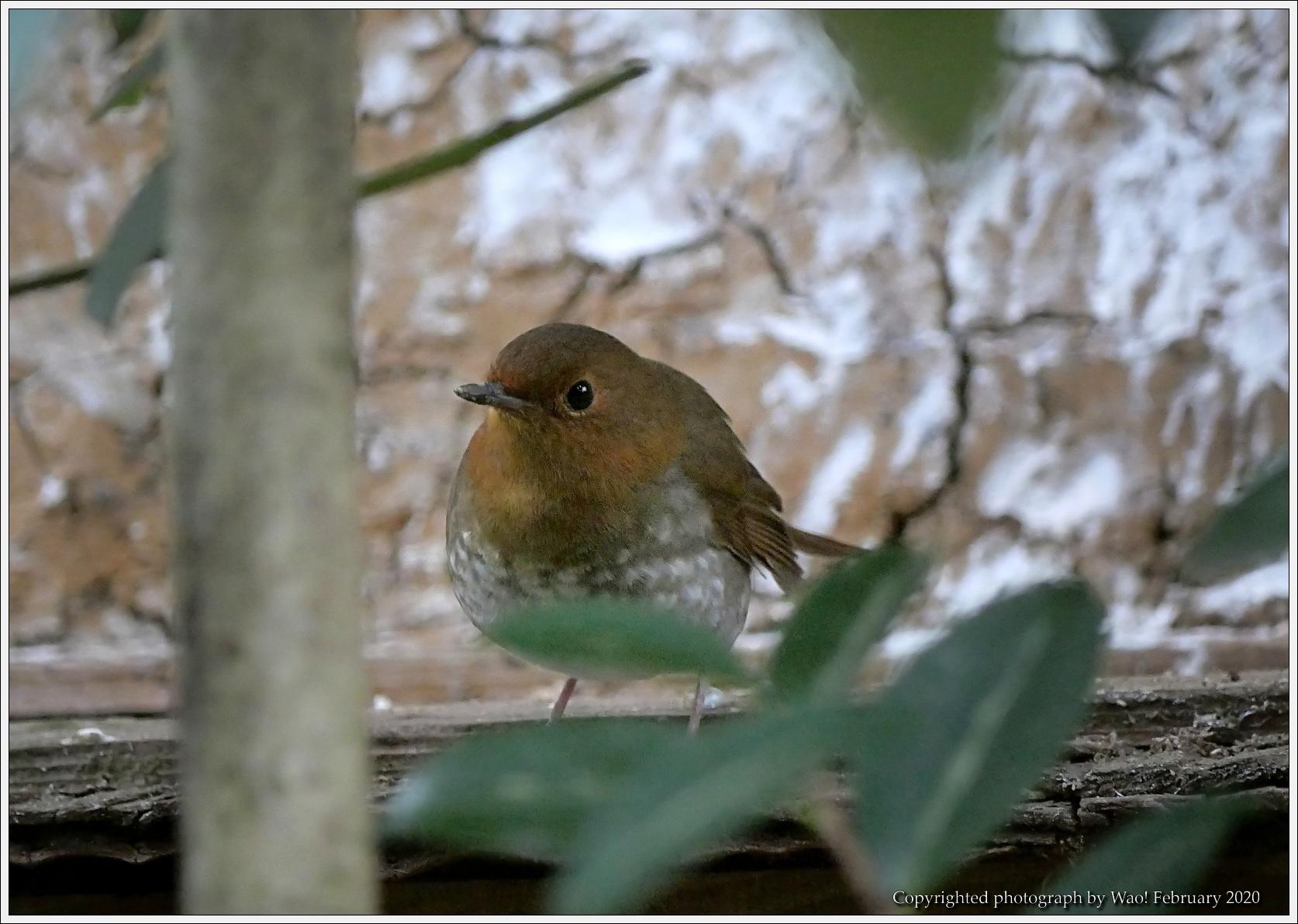 野鳥園のルリ・コマ・キビタキ_c0198669_14135147.jpg