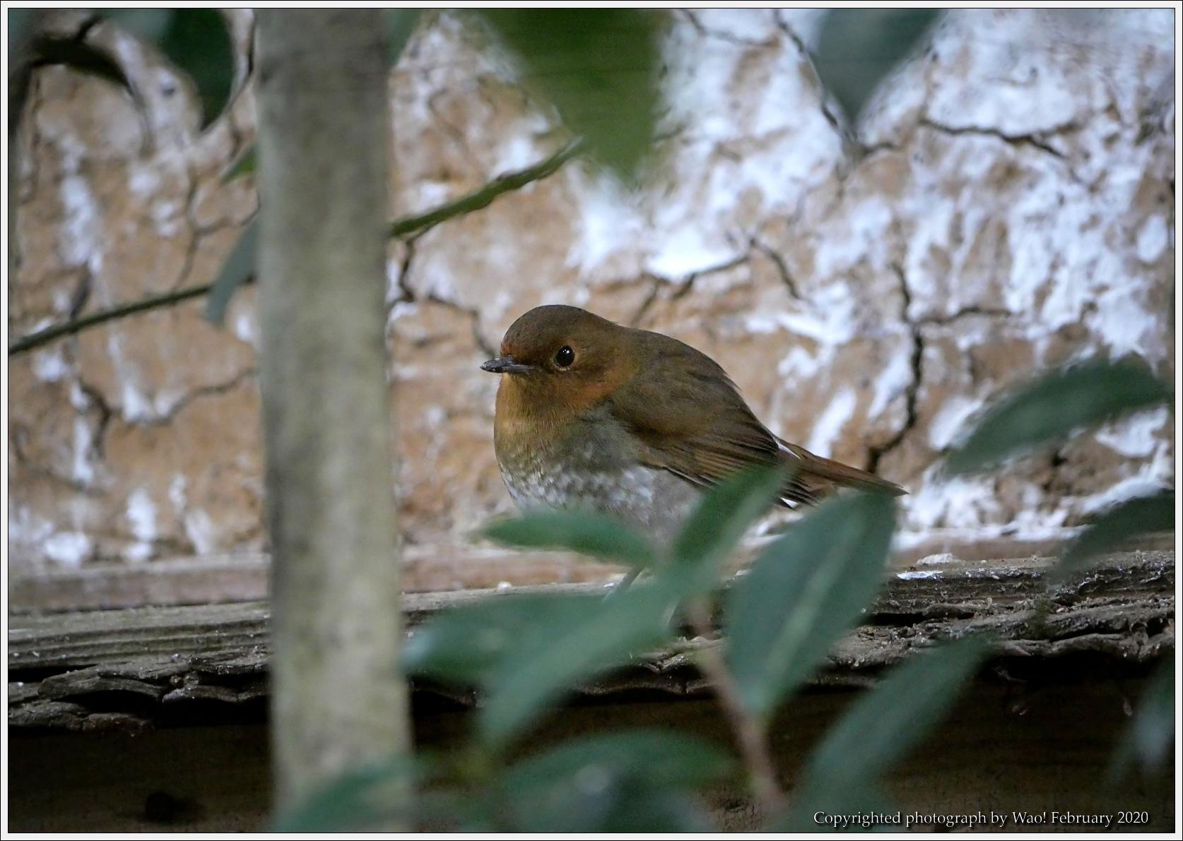 野鳥園のルリ・コマ・キビタキ_c0198669_14135668.jpg