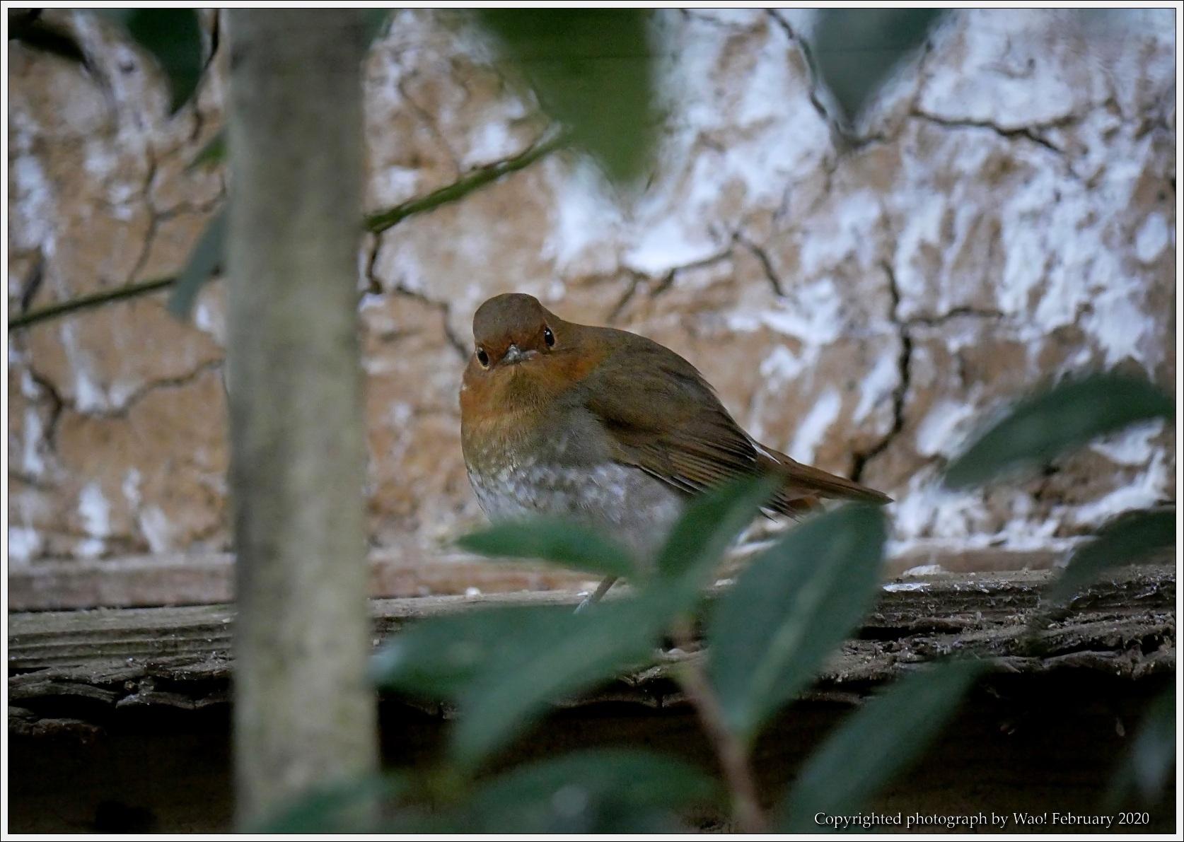 野鳥園のルリ・コマ・キビタキ_c0198669_14141050.jpg