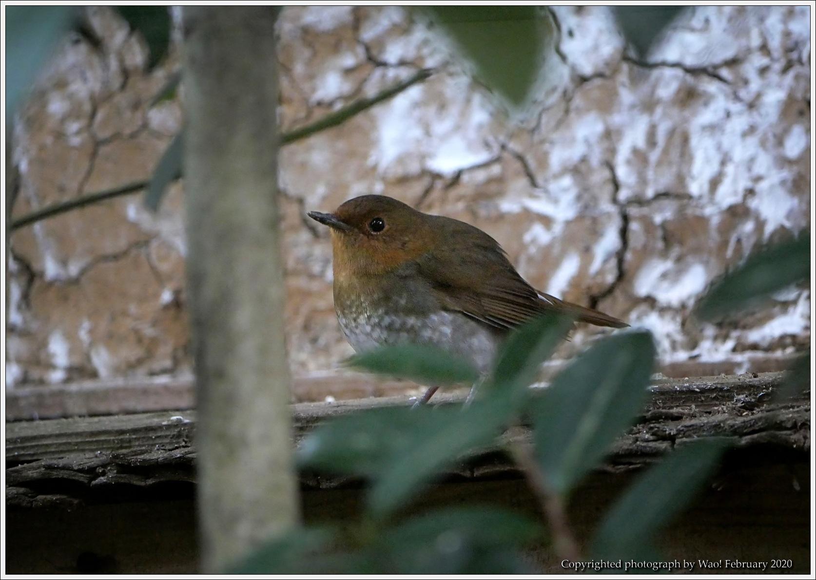 野鳥園のルリ・コマ・キビタキ_c0198669_14142062.jpg